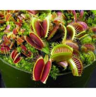 Seeds of carnivorous plants - sarracenia, allata, nepentes, venus flytrap