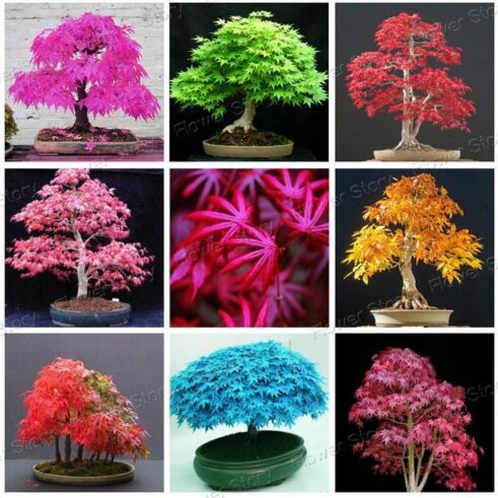 Bonsai koku sēklas