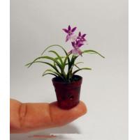20 x seeds of Orchidea Falenopsis bonsai flowers