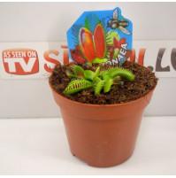 Magic Venus Fly Trap Dionaea Muscipula